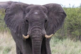 Chobe is één van de beste plekken om olifanten te spotten, ze worden hier goed beschermt tegen stropers dus groeit de populatie al jaren.