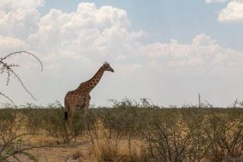 En alhoewel er maar zo'n 13.000 van zijn zagen we alweer een giraf.
