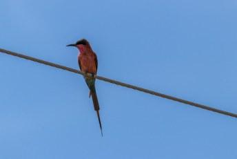 Inmiddels weer op asfalt richting Kasane zagen we massa's van die vogels op kabels langs de weg.