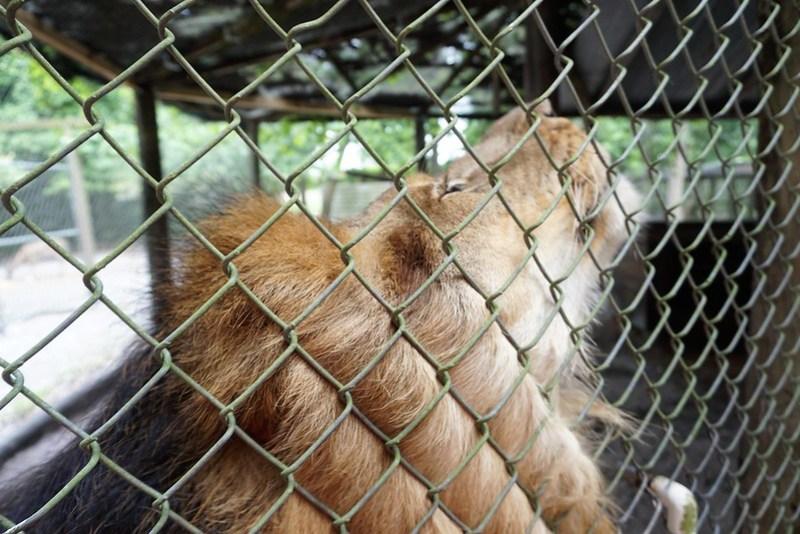 Alex the Lion at Lions, Tigers & Bears Inc., Arcadia, Fla., April 14, 2019