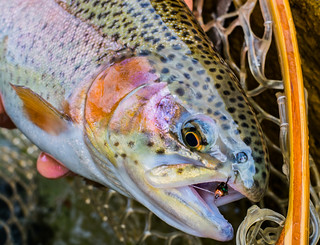 Rainbow trout up close