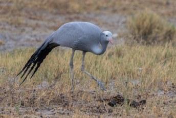 .... een beetje raar, want deze blue crane of paradise crane is de nationale vogel van Zuid-Afrika en niet van Stanley.