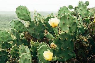 Cactus flowers on Qimei Island (七美望安)