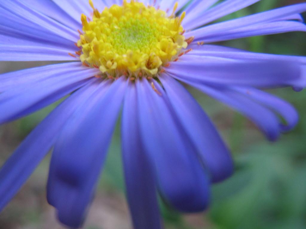 blue flower yellow center
