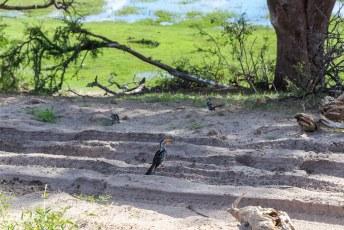 De tokkies speurden het diepe zand af naar wat eetbaars.