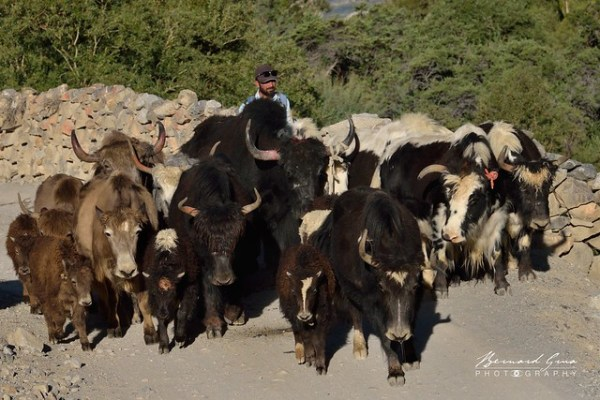 Les yaks avancent à un rythme soutenu, vallée de Chapursan, vers Sost puis Gilgit © Bernard Grua