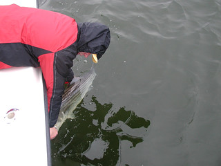 Photo of man Releasing a striped bass over the side of a boat