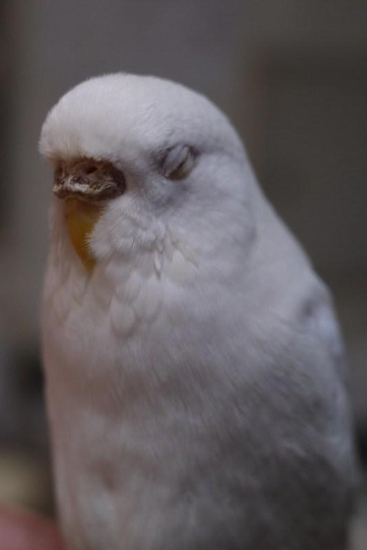 pseudo pupil detection White parakeet 03
