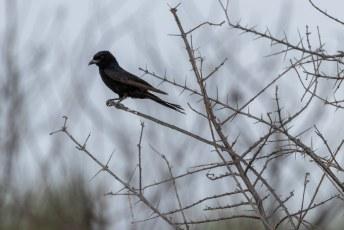 Dit is de Treurdrongo, hij kan het geluid van bijv. roofvogels nadoen om zo voedsel te kunnen stelen van andere vogels en stokstaartjes. Daar is een term voor: kleptoparasitisme.