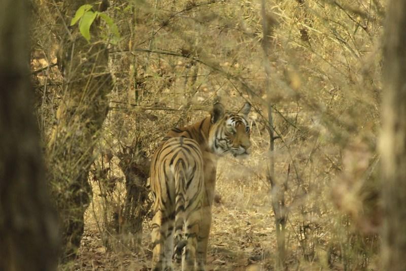 Tigress at Bandhavgarh National Park