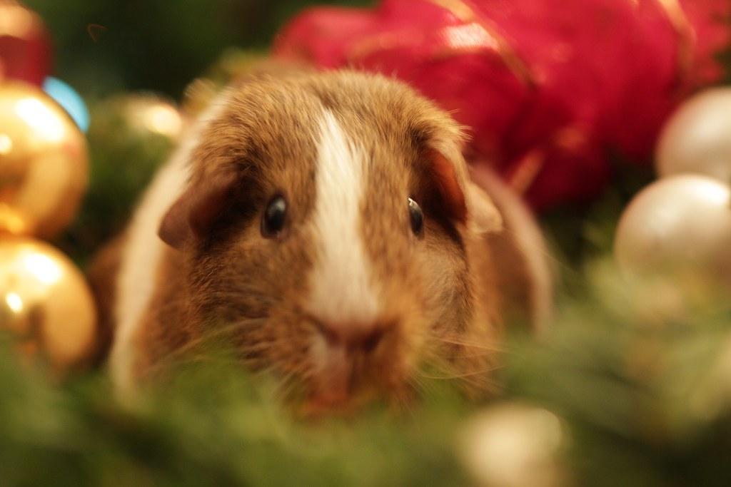 親愛的小豬...   Note: 今天凌晨小豬走了... 12.15.2012 (謝謝小豬陪我們家走過快7年的時光. 我…   Flickr