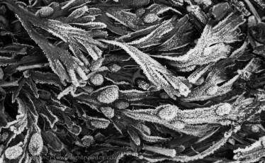 Frosted bladderwort