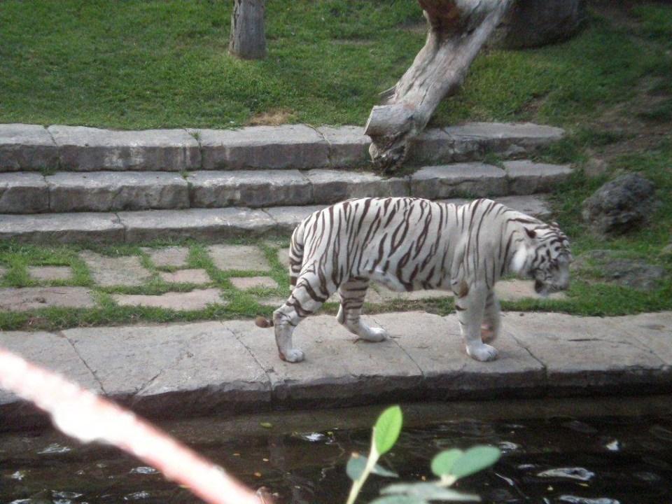 Tigre de Sumatra Zoo Bioparc Fuengirola Malaga 08