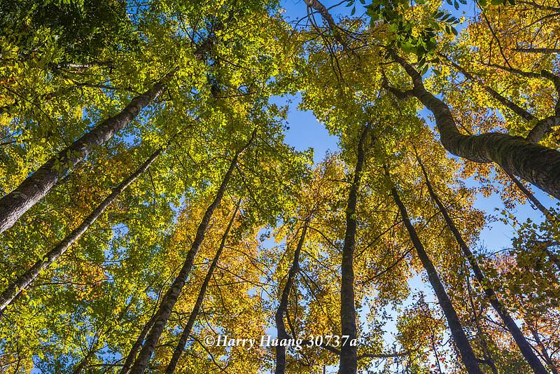 Harry_30737a,霞喀羅國家步道,霞喀羅古道,國家步道,古道,步道,楓葉,楓樹,楓紅,秋季,秋天,新竹縣,尖… | Flickr