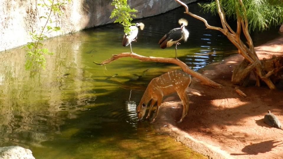 Sitatunga antilope Bioparc Fuengirola Malaga