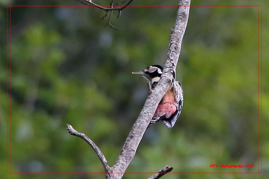 大赤啄木 | 大赤啄木 White-backed Woodpecker 首拍紀錄版,原圖與綠豆大小差不多 大雪山 Jan… | Flickr