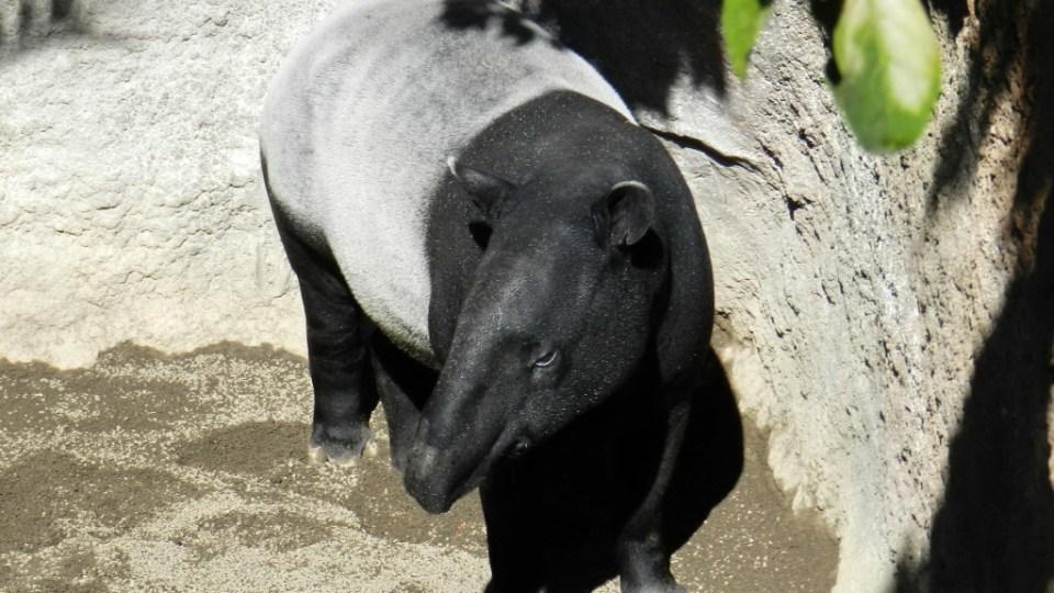 tapir malayo Zoo Bioparc Fuengirola Malaga 01