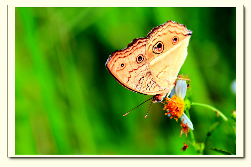 IMG-8537-01 | 孔雀蛺蝶 Junonia almana | KUEN-CHERNG DAY | Flickr