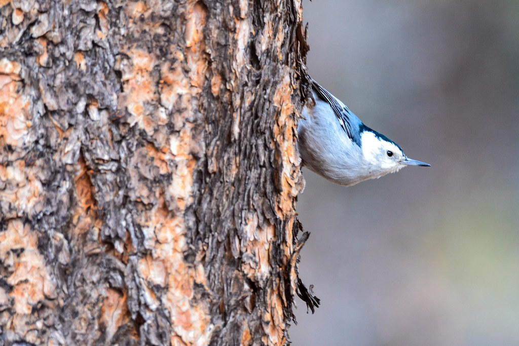 Durango - White-breasted nuthatch