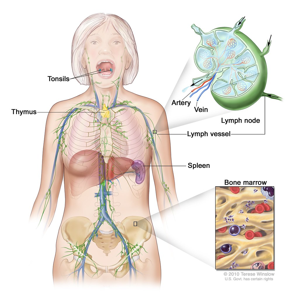 hight resolution of  lymph system female by national institutes of health nih