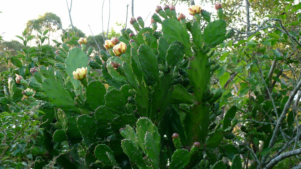 Opuntia monacantha  Cactus Drooping Pear probably