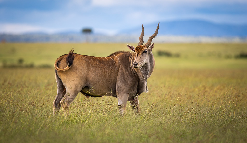 Animal Rights Wallpaper Beautiful Common Eland Eland Antelope Beautiful Animal