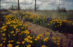 Tohono O'Odham Flowers