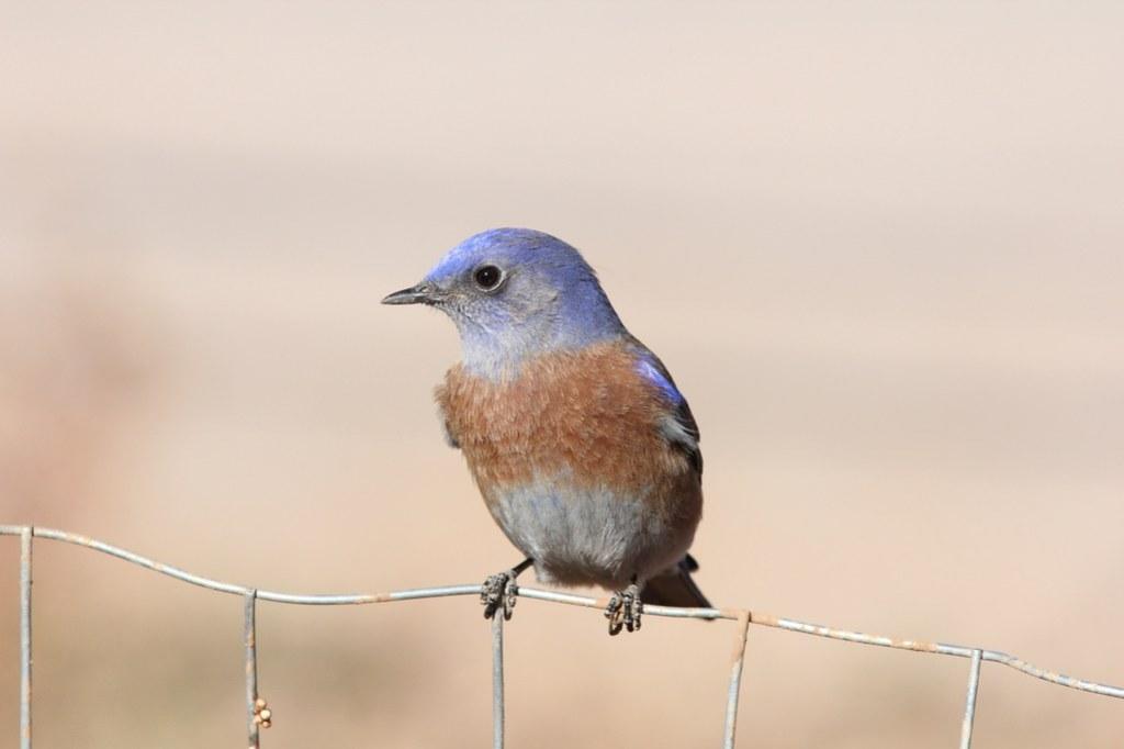 Western Bluebird, Visitor Center, Grand Canyon NP, November 6, 2012
