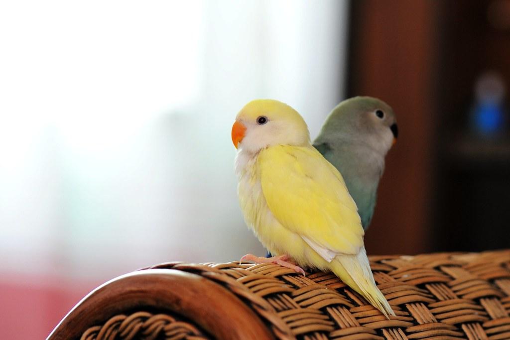 TCY_0221   牡丹鸚鵡-艾莉絲與小綠綠   蘇州一隅   Flickr