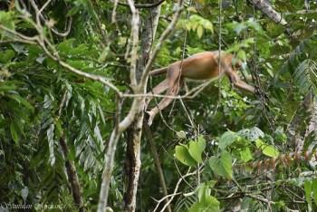 A Pregnant Capped Langur