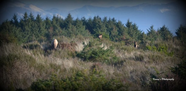 Oregon Coast Elk Photo