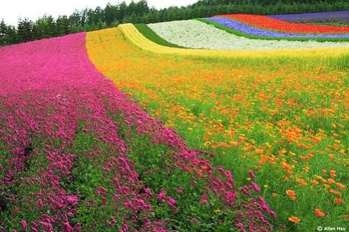 Tomita Flower Field