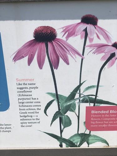Echinacea Purpurea sign