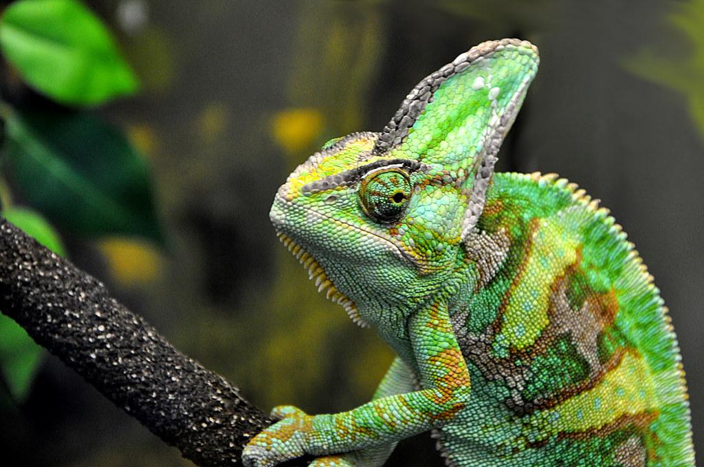 Animal Photo Wallpaper Chameleon Veiled Chamleon Chamaeleo Calyptratus Seen
