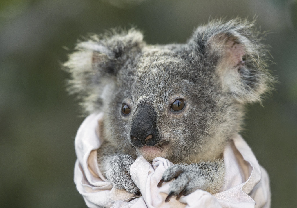 Wild Koala Joey Wild Koalas Of St Bees Island Are