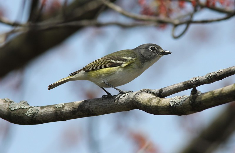 Blue-headed Vireo, Kentwood MI, 30 April 2013