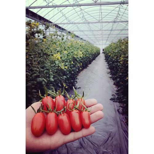 #番茄 有極少數紅了! 產季即將到來!   yiJieJamie   Flickr