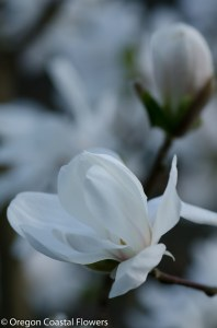 Tuliip Magnolia Branches-1-5