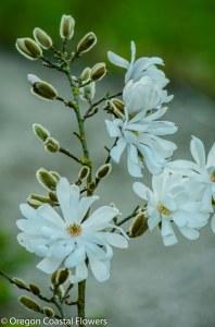 Tulip Magnolia Flowering Branches-4