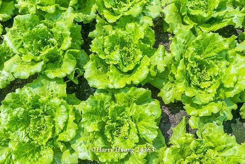 Harry_24363.萵苣.美生菜.生菜.生食蔬菜.半結球萵苣.義大利萵苣.羅曼.羅蔓.蔬菜.契作農場.超商沙拉食… | Flickr