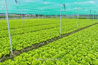 Harry_24372.萵苣.美生菜.生菜.生食蔬菜.半結球萵苣.義大利萵苣.羅曼.羅蔓.蔬菜.契作農場.超商沙拉食… | Flickr