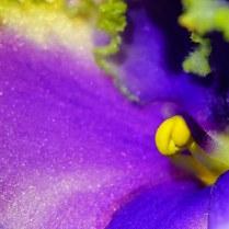 African Violet, 5x