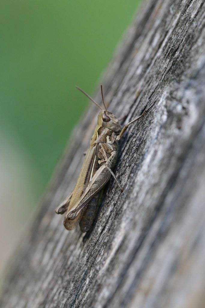 Chorthippus sp. (Gomphocerinae) - Acridid grasshopper | Flickr