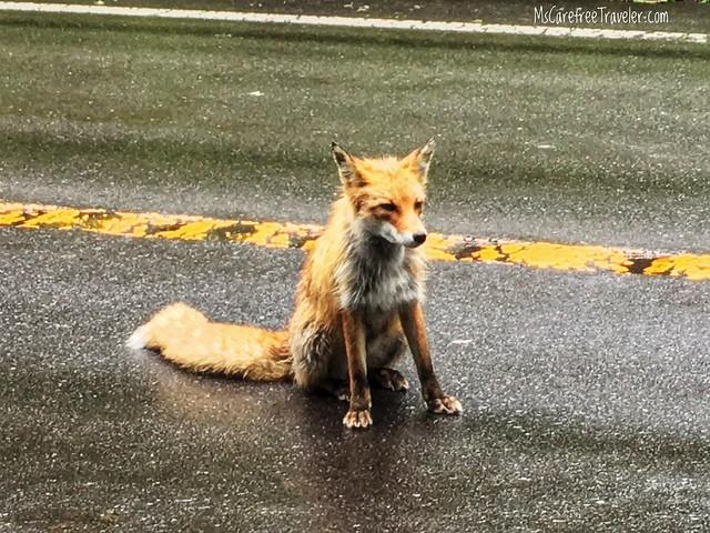 Wild fox on the road