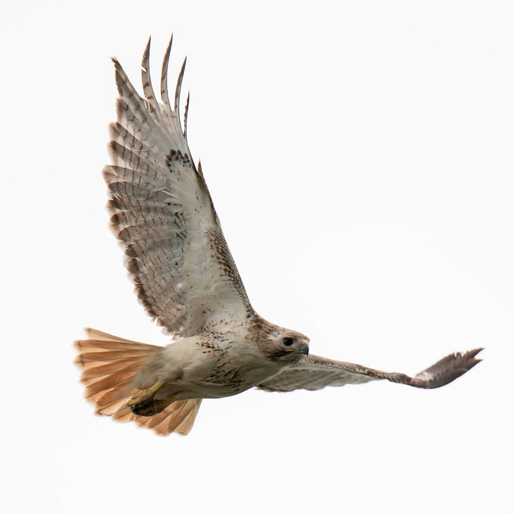 flying hawk b m