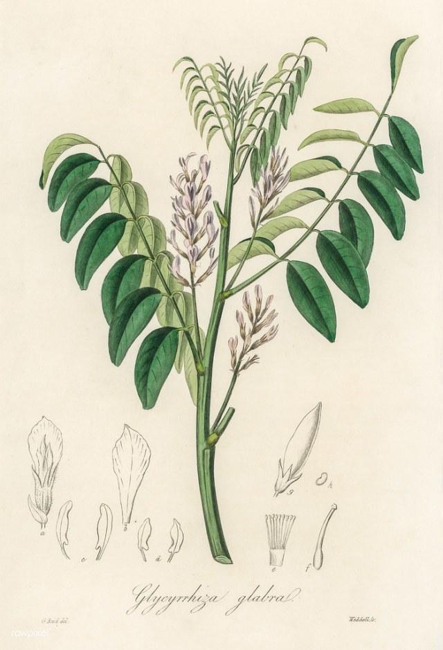 Antique illustration of glycyrrhiza glabra   Free download u…   Flickr