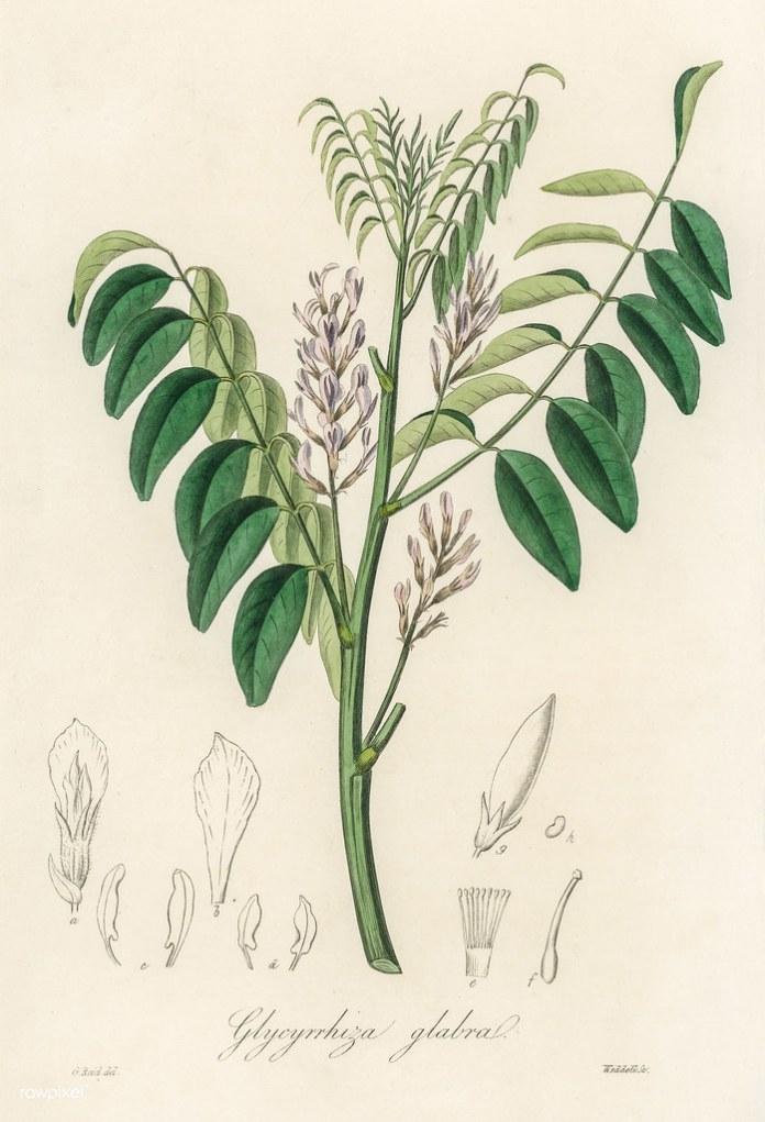 Antique illustration of glycyrrhiza glabra | Free download u… | Flickr