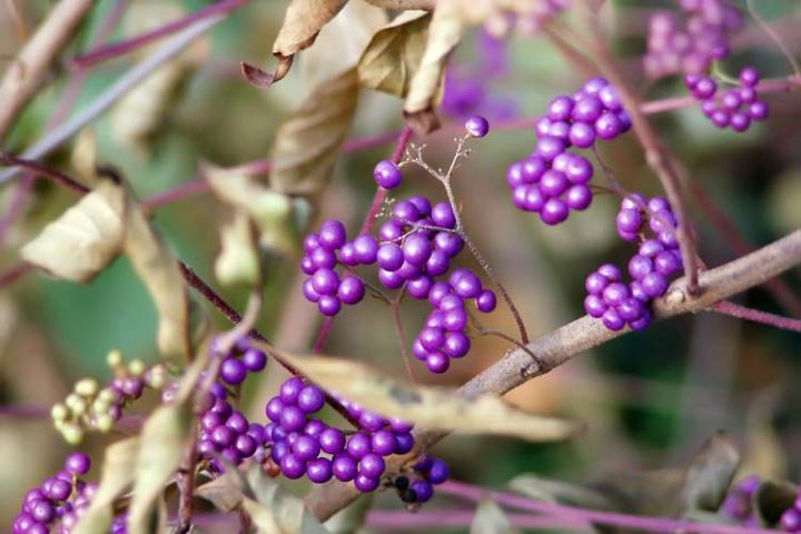 Ingredient Review: Callicarpa japonica aka beautyberry