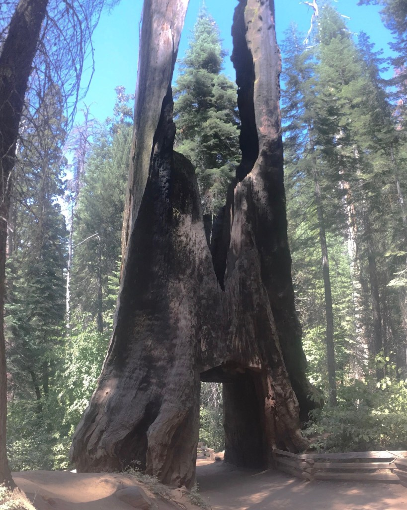 Giant Dead Tunnel Tree at Tuolumne Grove Trailhead, Yosemite National Park