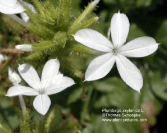 Chitraka - Plumbago zeylanica Linn - Ayurvedic Herb